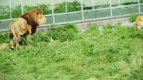 Lion little conflict and FIGHT !!! stock footage
