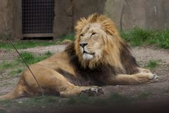 Lion at London zoo. Lion lying down at London Zoo Stock Photography