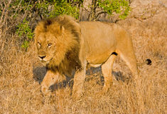 Lion in long grass Royalty Free Stock Images