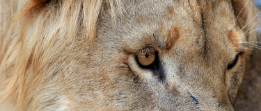 Lion look Royalty Free Stock Images