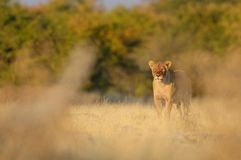 Lion look curious, etosha nationalpark, namibia. African lion look curious at grasslands, etosha nationalpark, namibia, panthera leo Stock Image