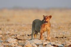 Lion look curious, etosha nationalpark, namibia. African lion youngster look curious, etosha nationalpark, namibia, panthera leo Stock Photography