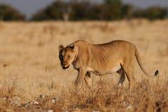 Lion look curious, etosha nationalpark, namibia, panthera leo Stock Photography