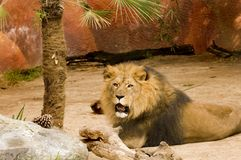 Lion looking. Lion at rest watching for a meal to come by Royalty Free Stock Images