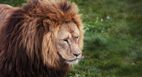 Lion looking Royalty Free Stock Photography
