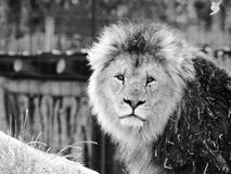 Lion. Looking as the king he are stock photo