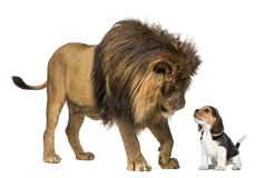 Lion looking at a beagle puppy Royalty Free Stock Image