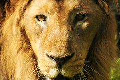 Lion looking at camera. Close up head Stock Image