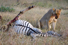 Lion looking disgusted near prey. Picture taken after de lioness had bitten the zebras bowel. It is looking disgusted from the contents of the bowel Stock Photography
