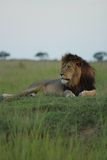 LION. Looking in the distance at his meal of the day.Taken by Tristan Bush Stock Photography