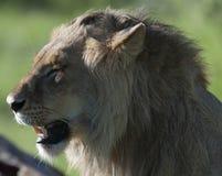 Lion, looking left and enjoying morning sunshine royalty free stock image