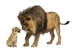 Lion looking at a lion cub. Lion standing and looking at a lion cub Stock Image