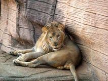 Lion Looking na câmera Imagem de Stock Royalty Free
