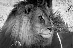 Lion Looking Over His Domain com fome fotografia de stock royalty free