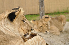 Lion looking at sleeping lion. Lion looking at second sleeping lion on tree trunk stock image