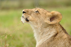 Lion looking up from profile view. On green background Stock Image