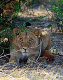 Lion looking very alert while sitting under a bush Stock Images