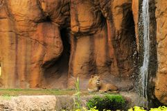 Lion looking at waterfall Royalty Free Stock Photos