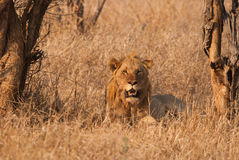 Lion looking. Wild lion lying in dry african savannah Stock Photography