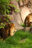 Lion lookout Royalty Free Stock Photos