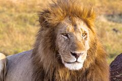 Lion looks in the frame. Masai Mara, Africa. Lion looks in the frame. Masai Mara, East Africa stock photo