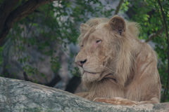 The lion looks vacant. The lion looking vacant in the forest stock photos