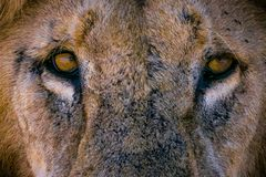 Lion looks you royalty free stock image