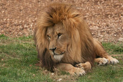 Lion lounging Images stock