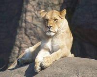 Lion Lounging in de Zon Stock Foto