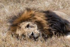 Lion Lounging in Droog Gras in Masai Mara Royalty-vrije Stock Foto