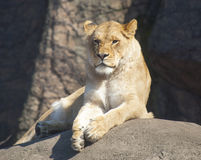 Lion Lounging in the Sun. Large Lion Lounging in the Sun Stock Photo