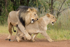 Lion Love royalty free stock image