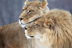 Lion lover. The lion couple is staying together royalty free stock photography