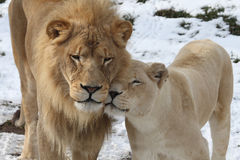 Lion lover. The two lion is so sweet royalty free stock photos