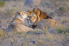 Lion Lovers Stock Photo