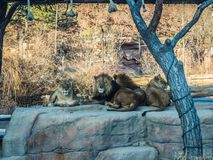 Lion Lovers resting and posing stock images