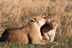 Lion loves Cub. A Lioness cuddles her cub in Tanzania Africa royalty free stock photography