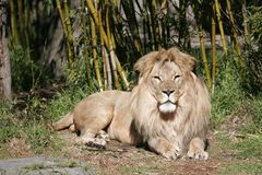 Lion Lunch. A lion stares at its potential lunch Royalty Free Stock Photo