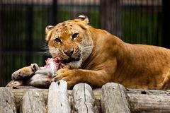 Lion lunch Royalty Free Stock Photos