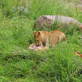 Lion lunch Stock Photography