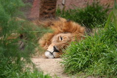 Lion lying. On it's side, staring at the camera Stock Photography