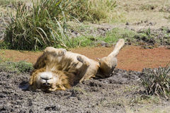 Lion lying on back in mud Royalty Free Stock Photos