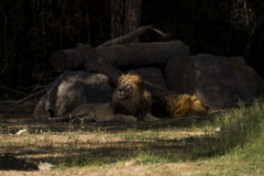 Lion lying behind rocks Royalty Free Stock Photography