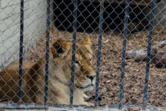 Lion. Lying on a brown sheet in a cage royalty free stock images
