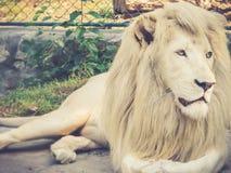 Lion Lying Down imagen de archivo libre de regalías