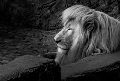 The lion lying down at the concrete. In black and white stock photos