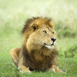 Lion lying down in the grass Royalty Free Stock Photography