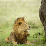 Lion lying down in the grass Stock Photo