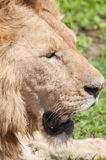 Lion Lying Down Royalty Free Stock Image
