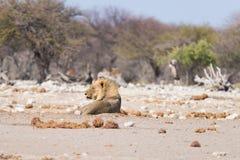 Lion lying down on the ground. Wildlife safari in the Etosha National Park, Namibia, Africa. Lion lying down on the ground. Wildlife safari in the Etosha Stock Photos